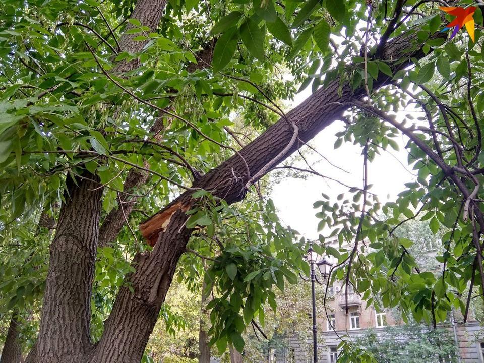 Опасное дерево в пешеходной зоне на 50 лет Октября