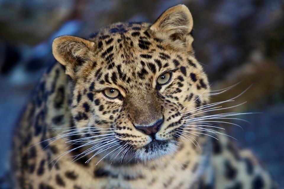 В Индии леопард напал на мужчину