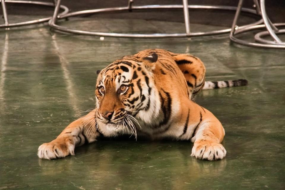 Тигры - совсем близко.