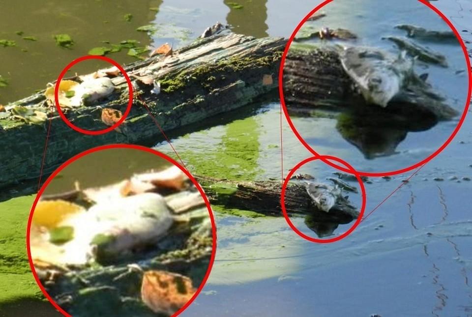 """Часть рыбы до сих пор гниет недалеко от берега водохранилища. Фото: Читатель """"КП"""""""