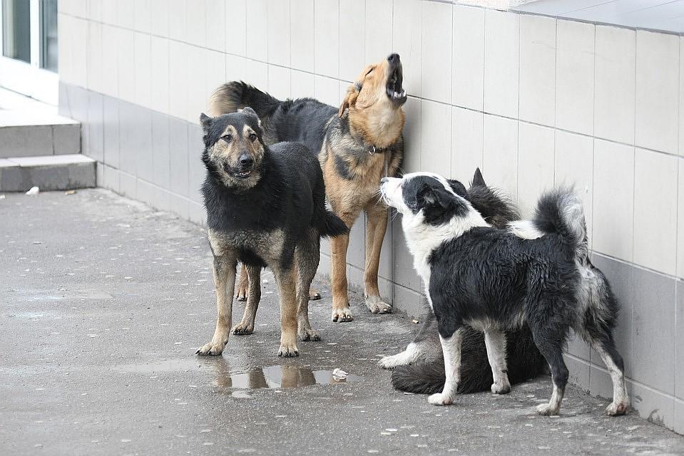 Стая бродячих собак напала на школьников в Хабаровске