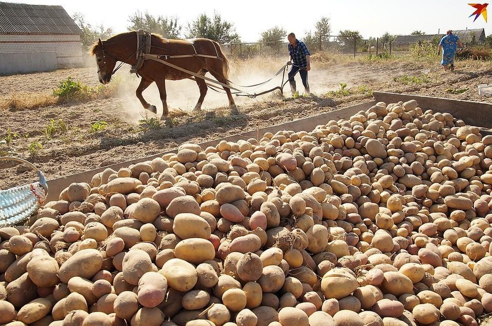 Лукашенко признался, что ест картошку только раз в неделю