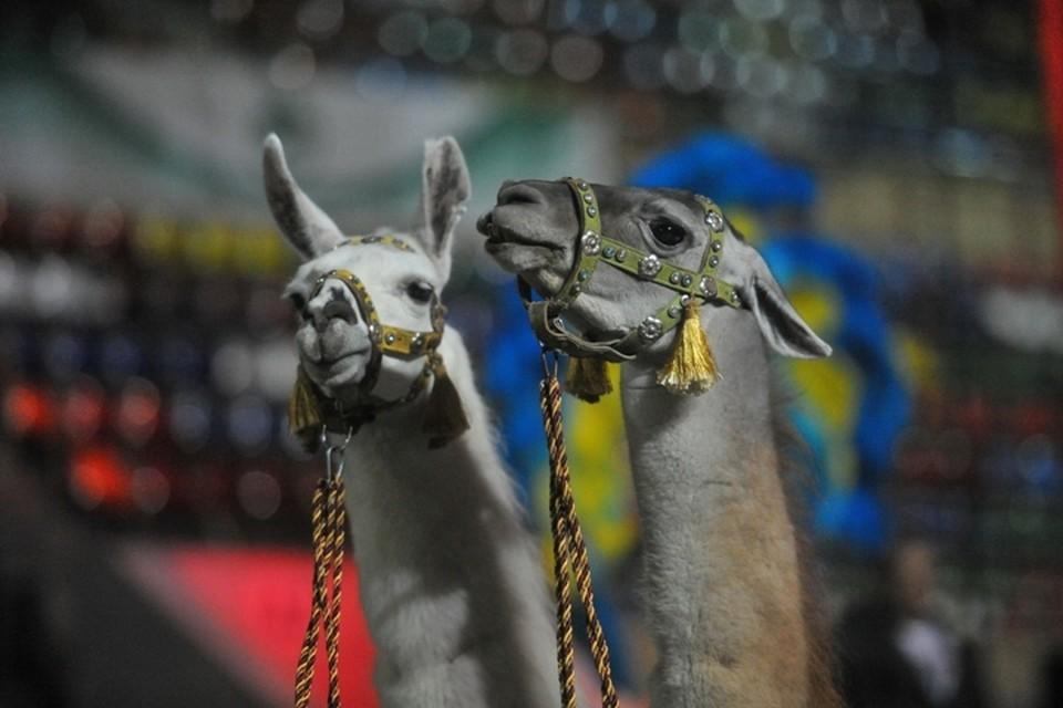 В Кемерове нашли нарушения при перевозке цирковых животных