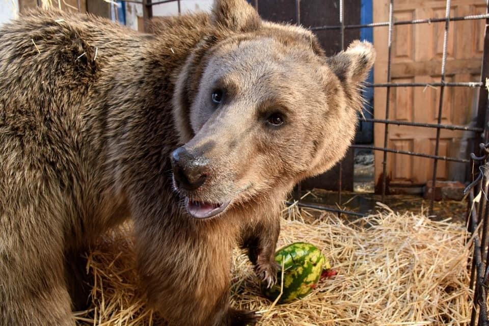 Медведь будет жить в вольере зоопарка. Фото: facebook.com/vladimir.verbitskiy