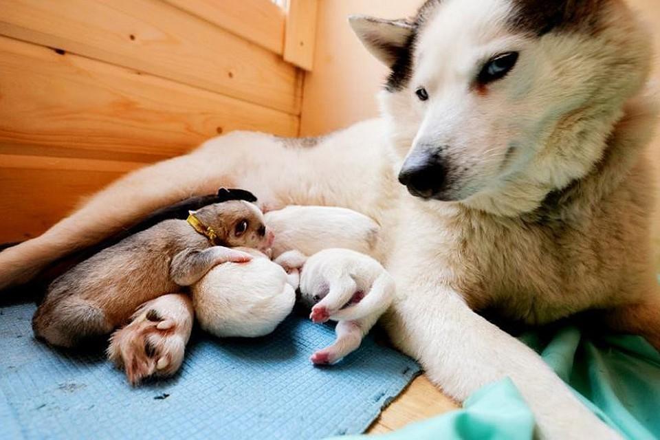 Красноярцы спасли семерых новорожденных хаски, которых решил утопить хозяин-погорелец. На фото - другие собаки. Фото: соцсети.