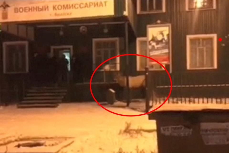 """Примчал по повестке: олень пытался попасть в военкомат Братска. Фото: """"Инцидент Иркутск"""""""