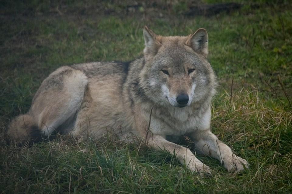 Больше всего от волков страдают жители поселка Усть-Черная в Гайнском районе, где хищники загрызли 10 собак.