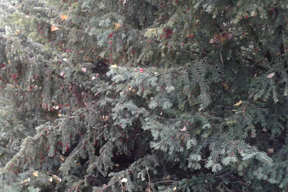 Двое в Могилеве выкопали и пропили чужие ёлки.