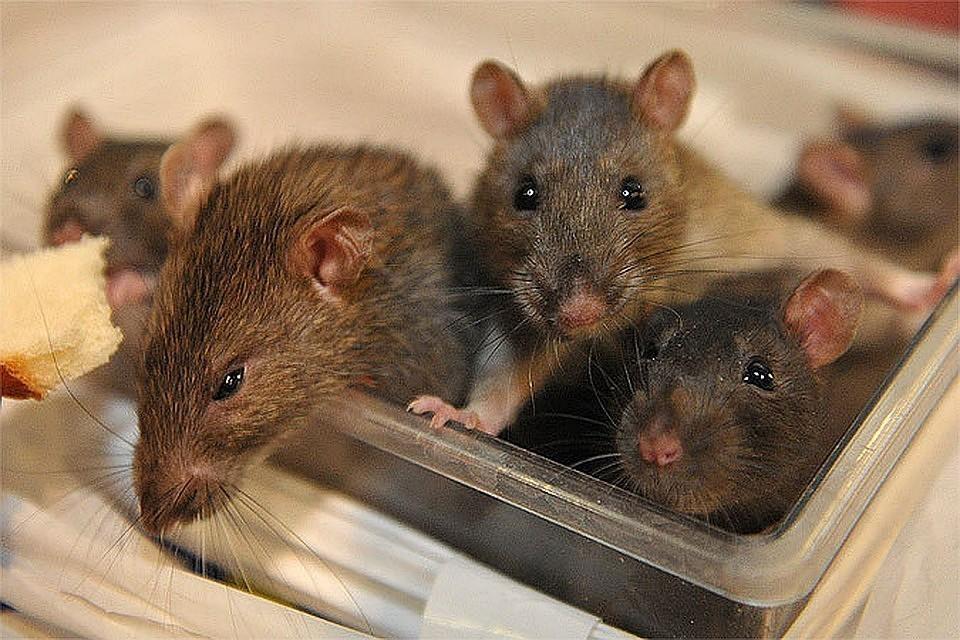 Вот такая милая крыска спасла людей от вероятной гибели.