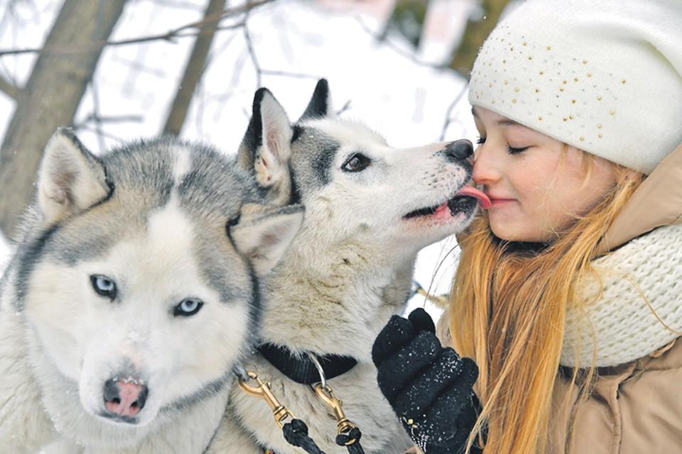 Сибирским хаски холода не страшны: эти собаки способны спать на снегу при температуре минус 25 градусов.