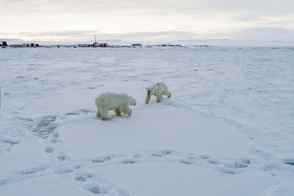 Со временем нетерпеливые медведи ушли вдоль берега кто куда. Фото: Максим Деминов / WWF России