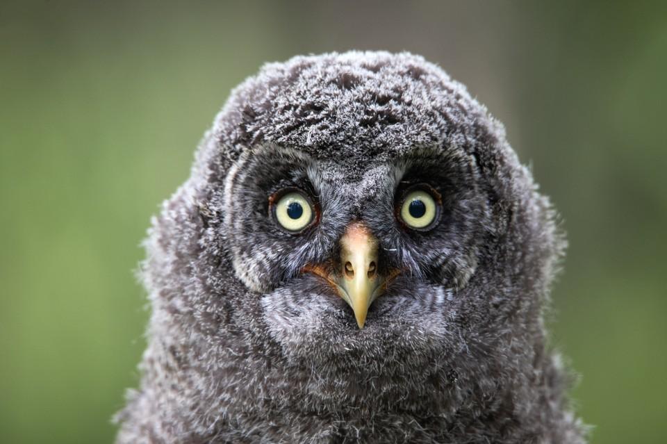 Птенец бородатой неясыти - милейшее существо.