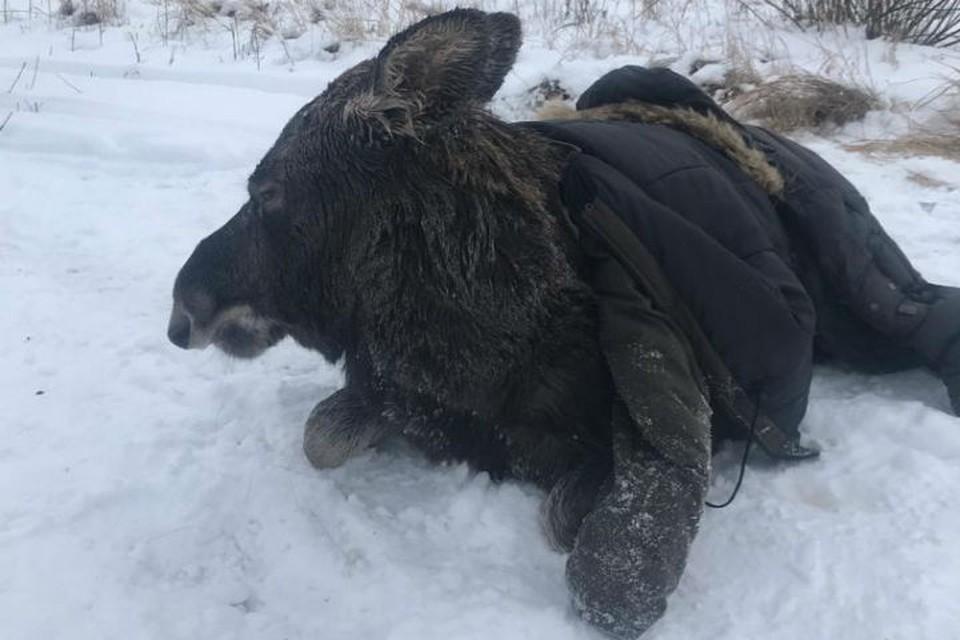 Жизни и здоровью лося ничего не угрожает. Фото: СОЦСЕТИ