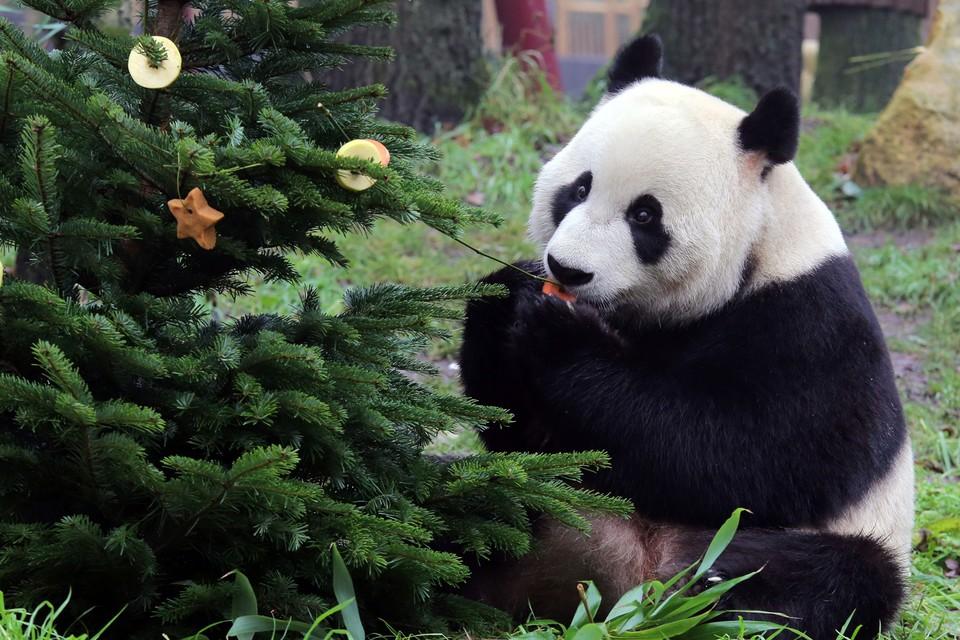 Панды поселились в голландском зоопарке два года назад. Фото: facebook.com/Ouwehandszoo