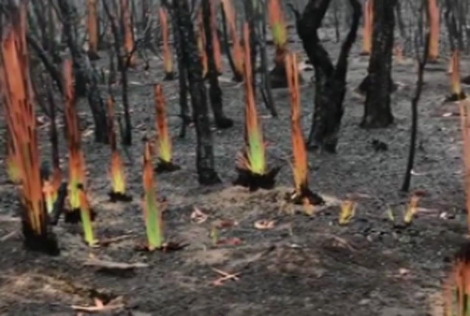 В Австралии прорастает жизнь после пожаров
