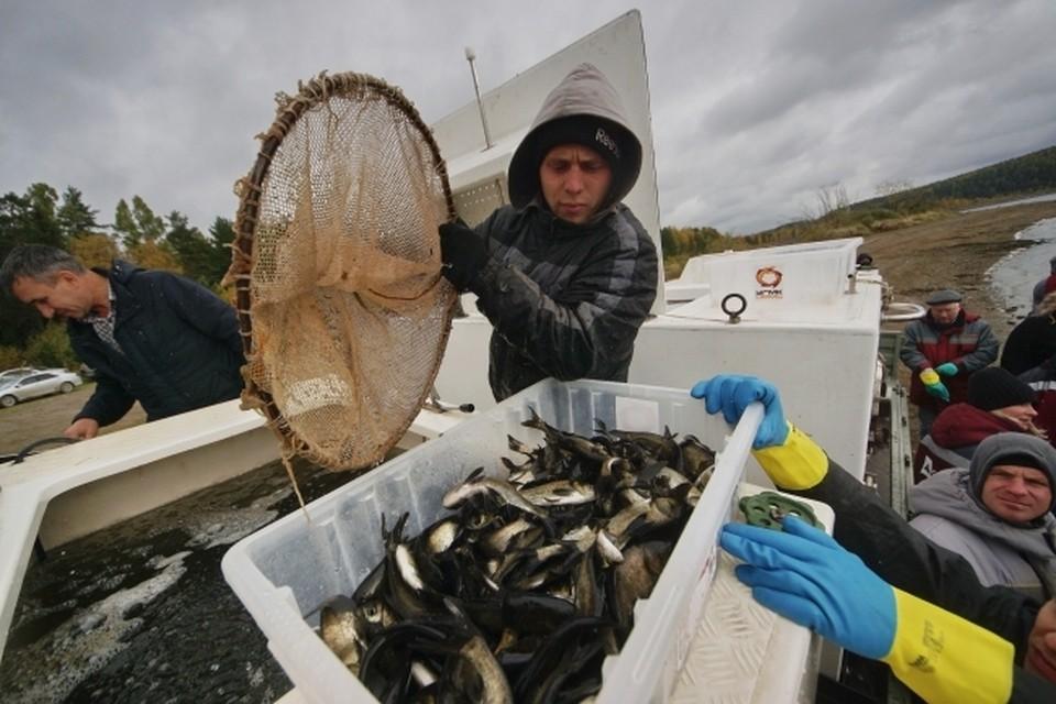 В Волге выловили рекордный объем рыбы