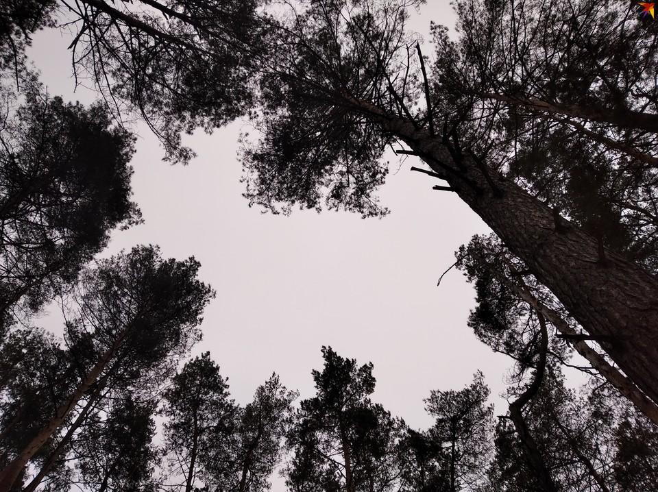 В основном леса восстанавливают в регионе за счет дума и сосны