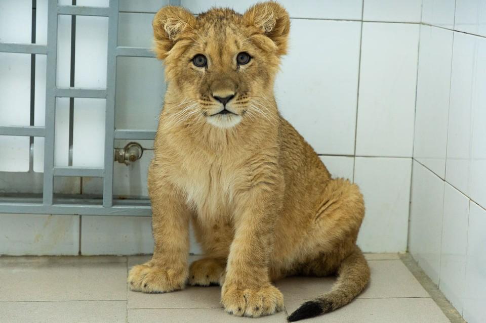 За полтора месяца в Волгограде львенок набрал почти 40 кило. Фото администрации ВО.
