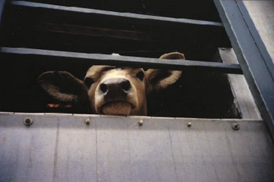 На границе Хабаровского края и ЕАО задержали 280 голов рогатого скота без документов