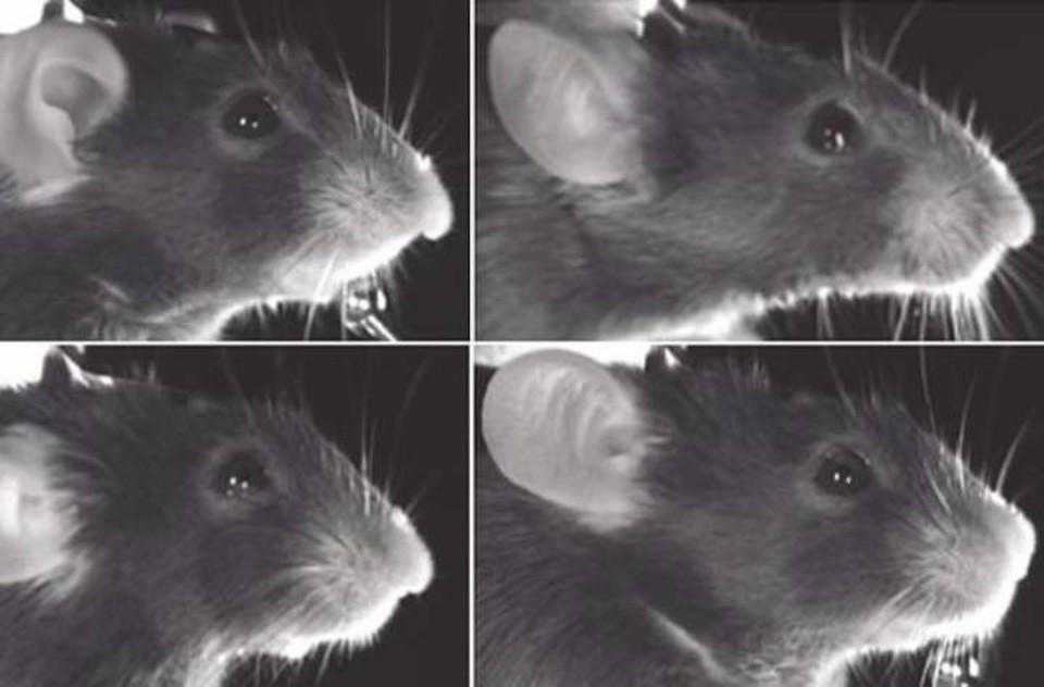 Ученые знают точно, какая из этих мышей улыбается.