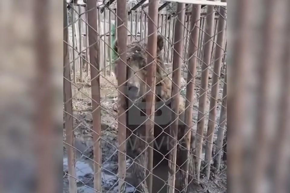 Под Красноярском на заброшенной даче нашли двух медведей. Стоп-кадр видео