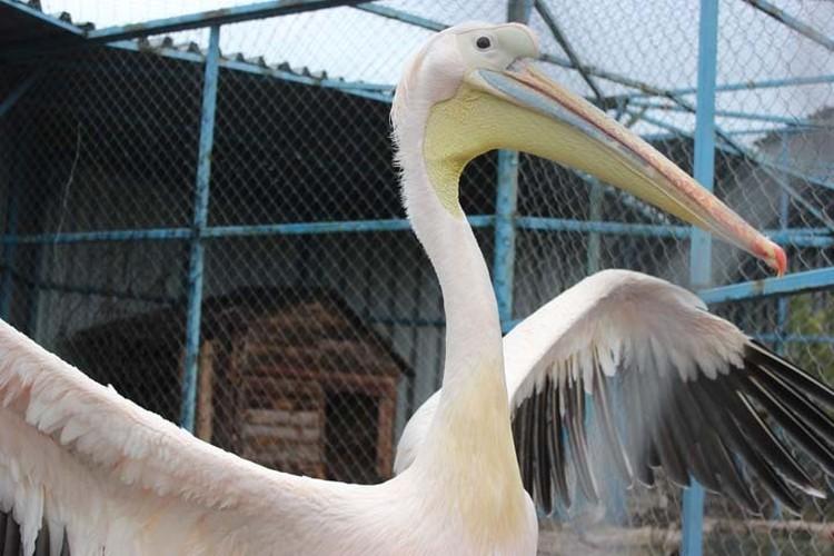Пеликаны своим необыкновенным видом привлекают детишек