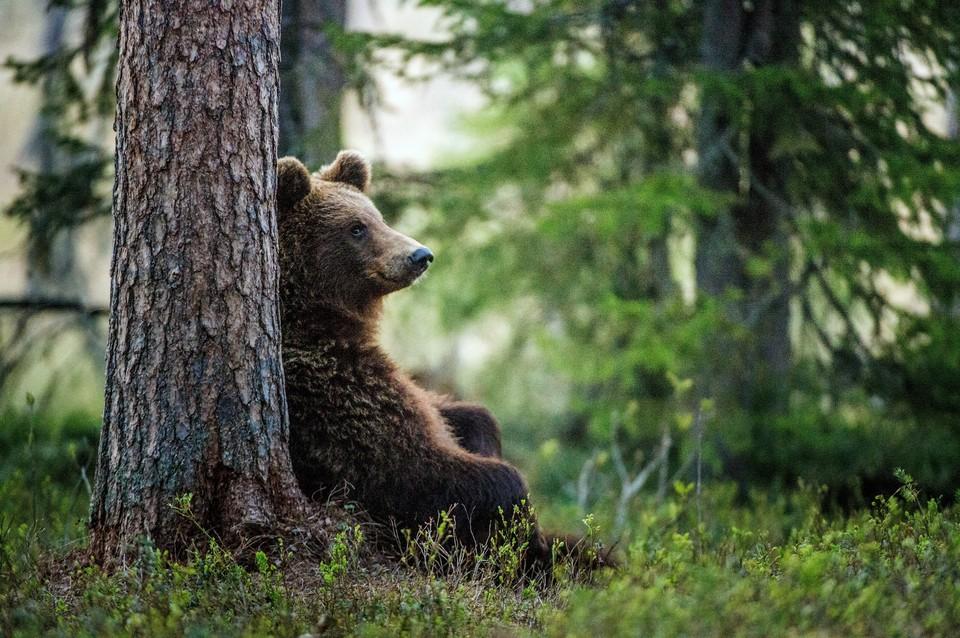 В тайге может раньше обычного появиться сибирский шелкопряд, уничтожающий хвойные леса. Фото: shutterstock.com.