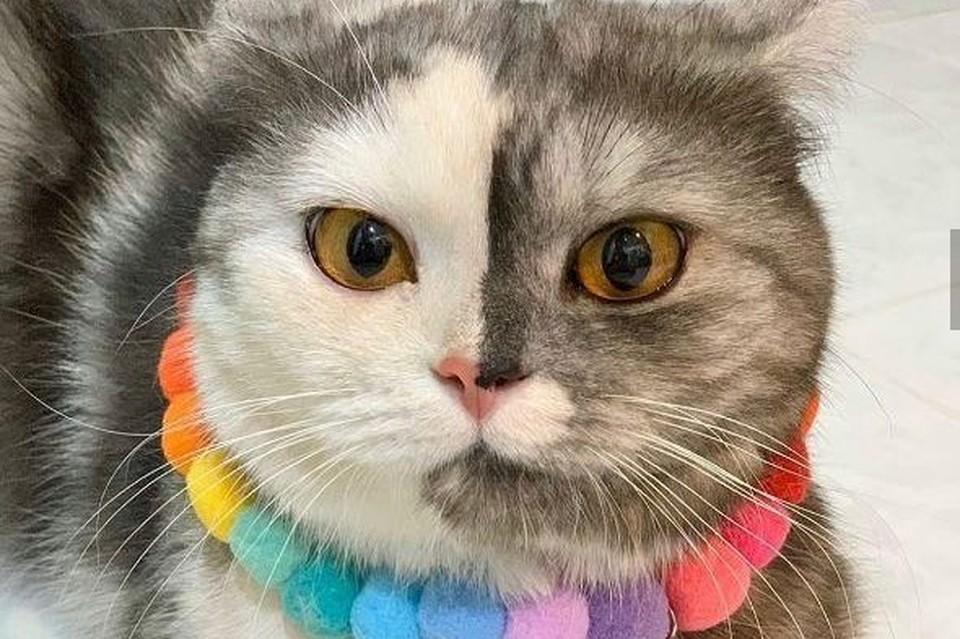 """Кошка с рождения имеет очень редкий """"половинчатый"""" окрас. Фото: инстаграм"""