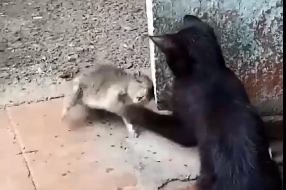 Крысы не боятся уже ни людей, ни животных. Скриншот с видео Натальи Борисовой