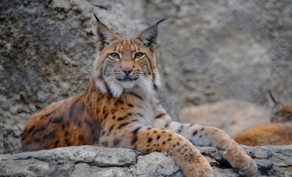 Каждый год на Южном Урале убивают около 20 хищных кошек.