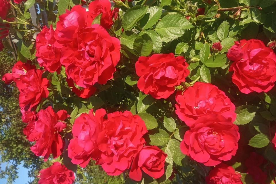 Цветущие кустарники и многолетние цветы из частного сектора будут пересаживать на улицы Минска, когда домовладения пойдут под снос. Такое решение предложили в горисполкоме.