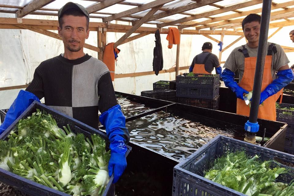 На недостаток рабочих рук жалуются многие сельхозпроизводители