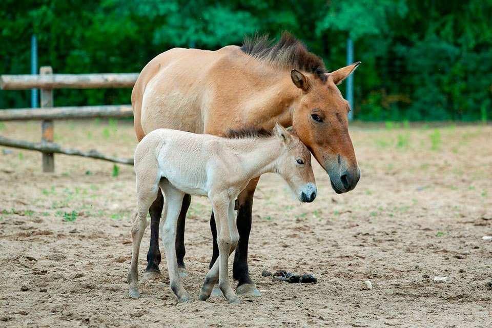 Маленькая девочка стала пятой в семействе лошадей Пржевальского. Мама оказалась очень заботливой и сразу начала выкармливать детеныша. Фото: Московский зоопарк