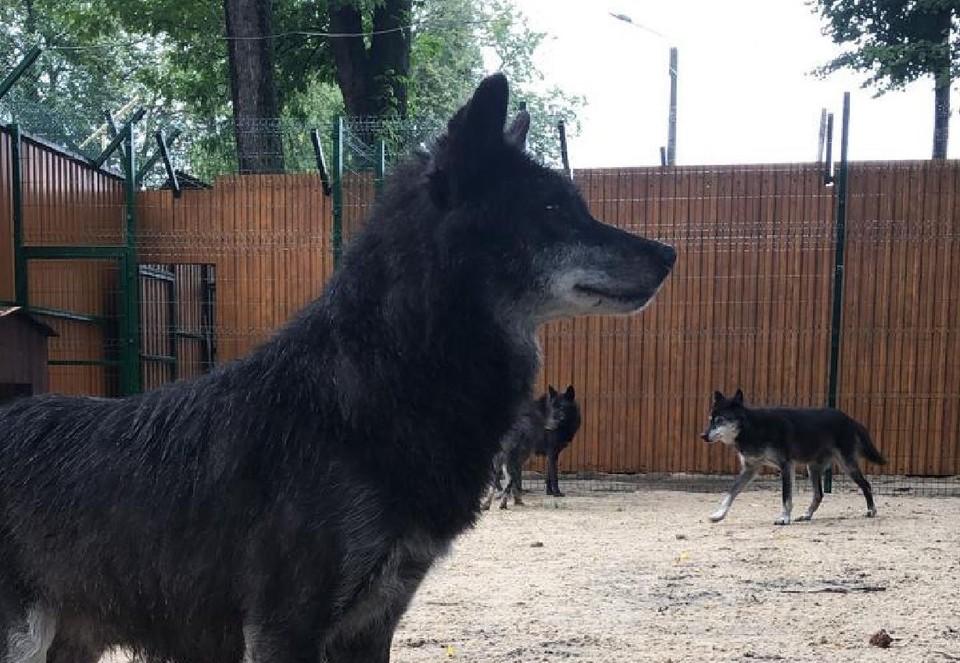 Волки из парка «Швейцарии» обрели новый дом в Балахне. Фото: администрация города Нижнего Новгорода