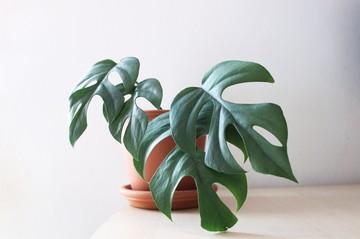 Новозеландец отдал $5300 за комнатное растение