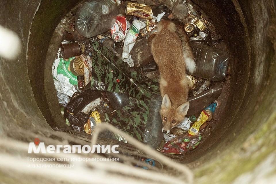 """Сталкеры спасли лису из колодца в Ленобласти. Фото: """"Мегаполис"""""""