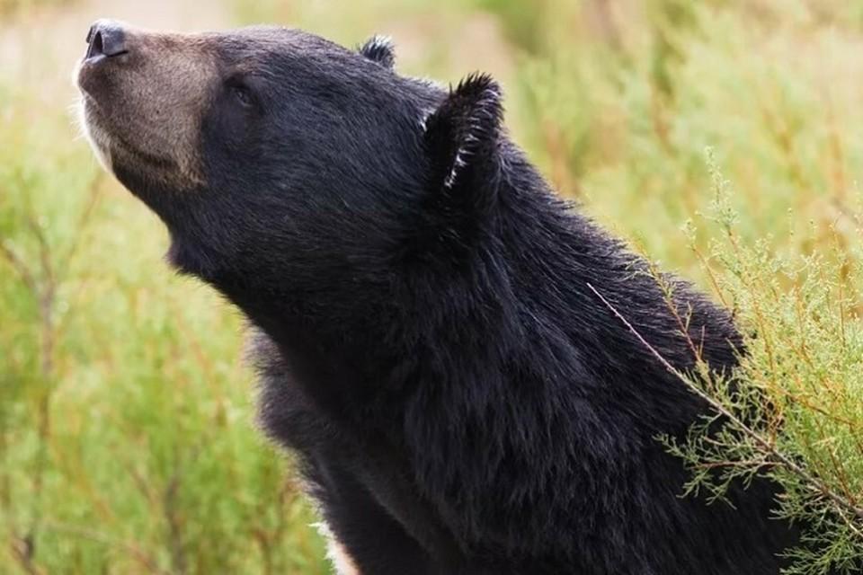 Медведь только в сказках неуклюжий хмурый добряк, в реальности это умный, быстрый и очень сильный зверь