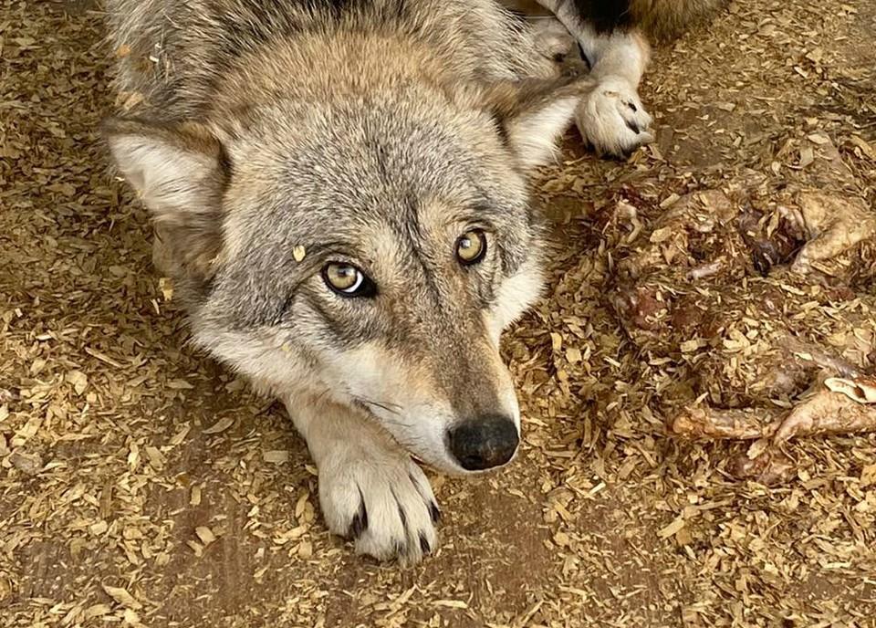 Волчица из Тольятти ждет помощи. Фото: соцсети
