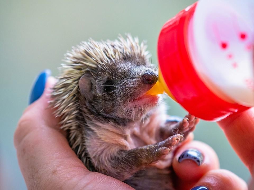 Улыбаются и пьют из бутылочки: ученые показали один день из жизни только что открывших глаза ежат