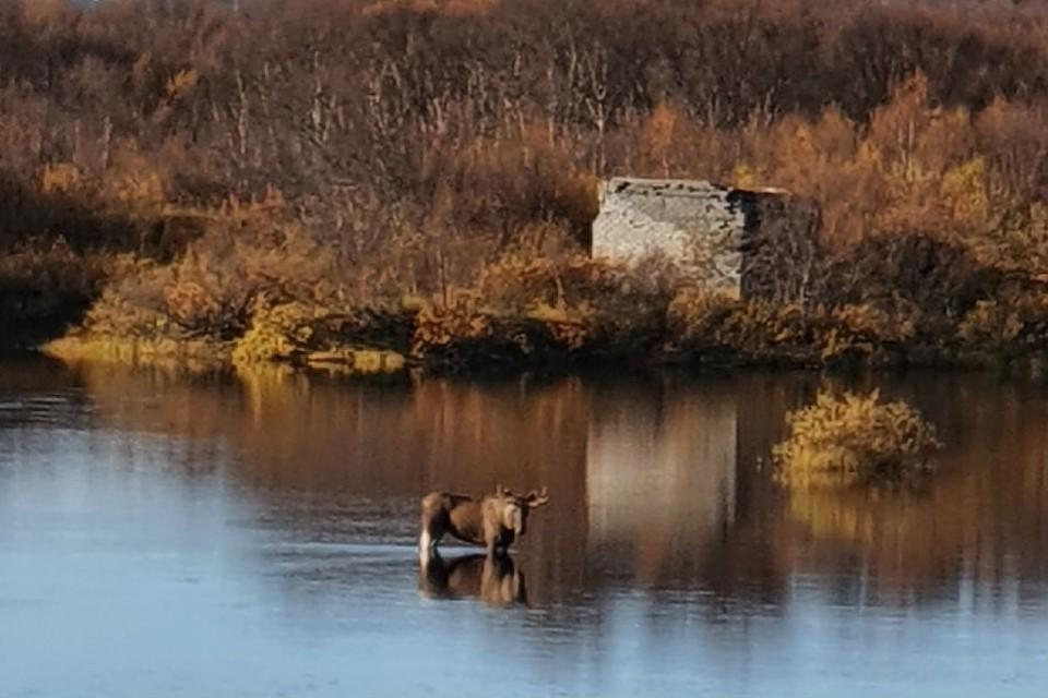 Лось застрял в реке Титовка. Фото: Катерина Сычева