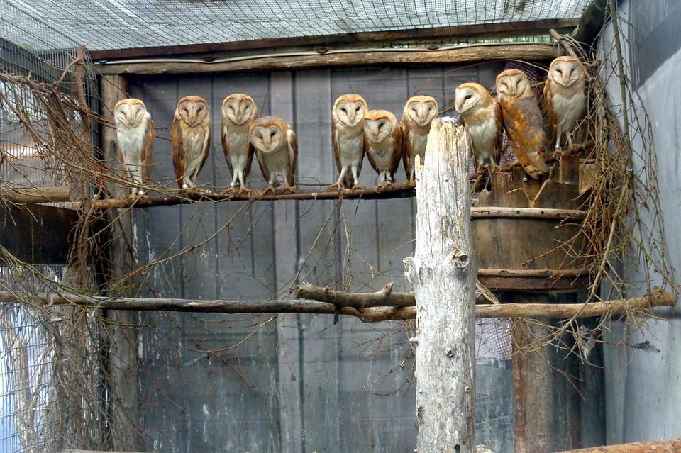 """Сейчас эти сипухи уже в дикой природе. Фото: со страницы центра """"Ромашка"""" в VK"""