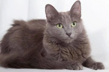 Кошка Нибелунг: фото, характер, описание породы