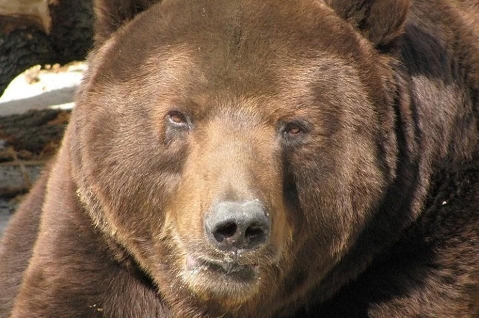 В Марий Эл медведица, защищая своих детенышей, напала на человека