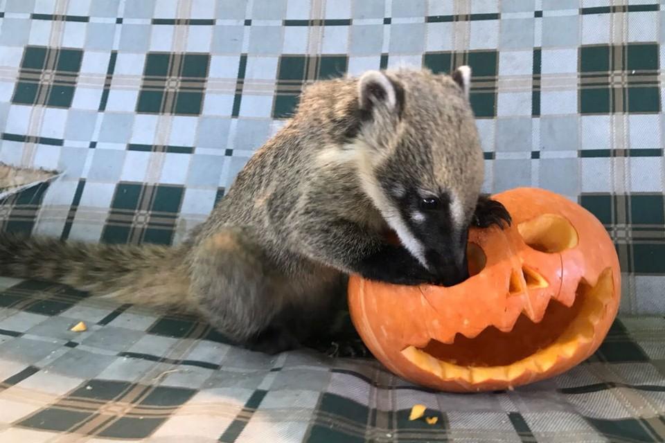 Страшные тыквы с праздника Хэллоуин в Иркутске можно отдать зверям.