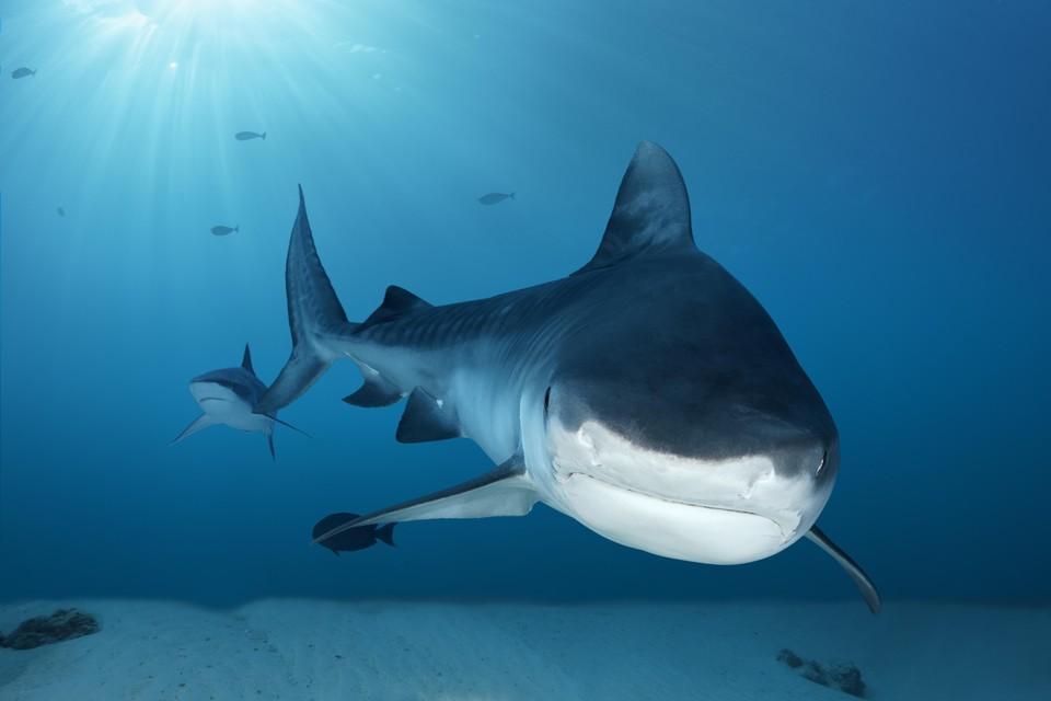Акула напала на 60-летнего мужчину, плававшего недалеко от берега.
