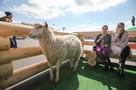 В Забайкалье к запуску готов пилотный проект по развитию овцеводства