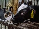 """""""Она лечила его, а он делился едой"""": в Самарской области бычок подружился с котенком"""