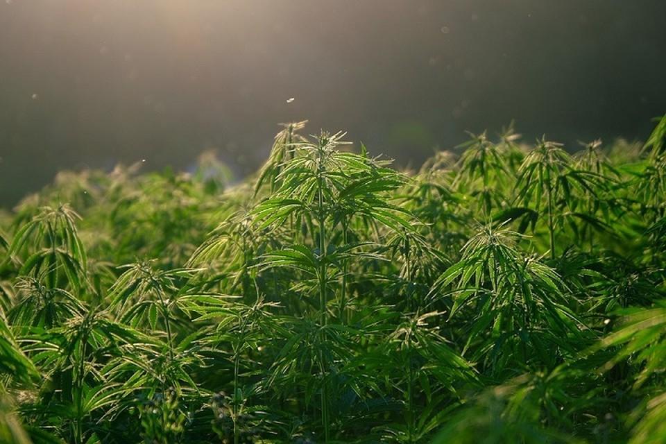 """Жители Волковыска около трех лет занимались """"производством"""" марихуаны. Фото: pixabay.com."""