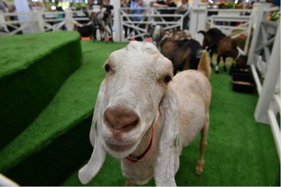 В одном из случаев опасный вирус обнаружили у домашней овцы. Такое бывает довольно редко.