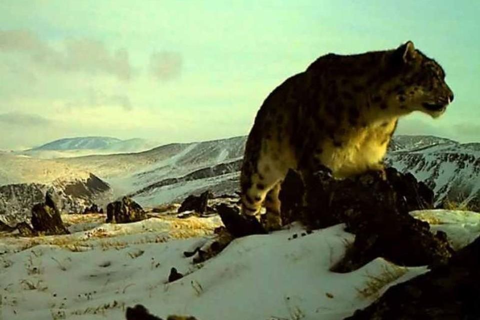 Этот ирбис впервые попал в фотоловушку в Кош-Агачском районе Республике Алтай в 2013 году